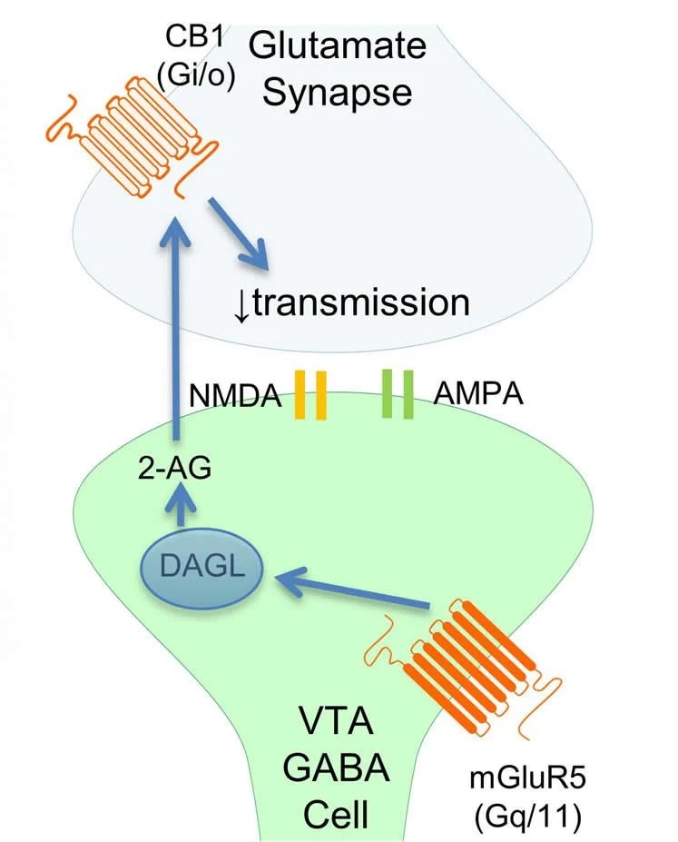 Image shows a diagram of a synapse.