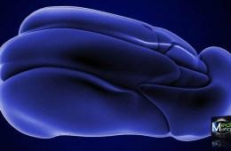 Image shows the thalamus.