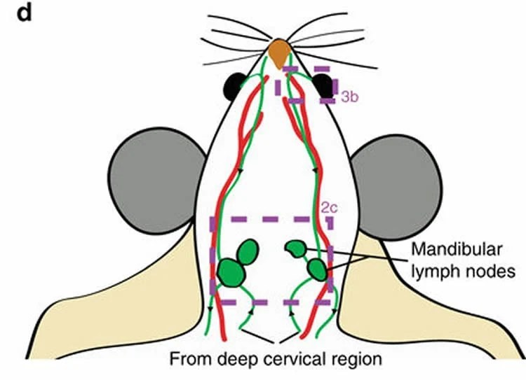diagram nodes lymphatic system joints of the foot exit through neuroscience news image shows a mouse brain