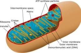 Image shows mitochondria.