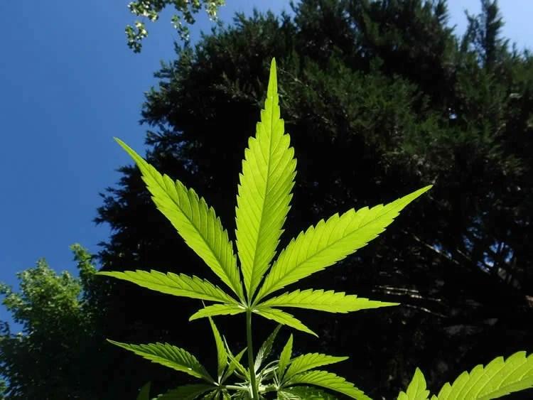 http://neurosciencenews.com/cannabinoids-booze-8465/