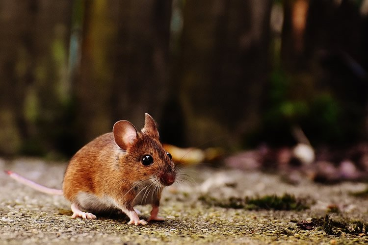 a mouse running around