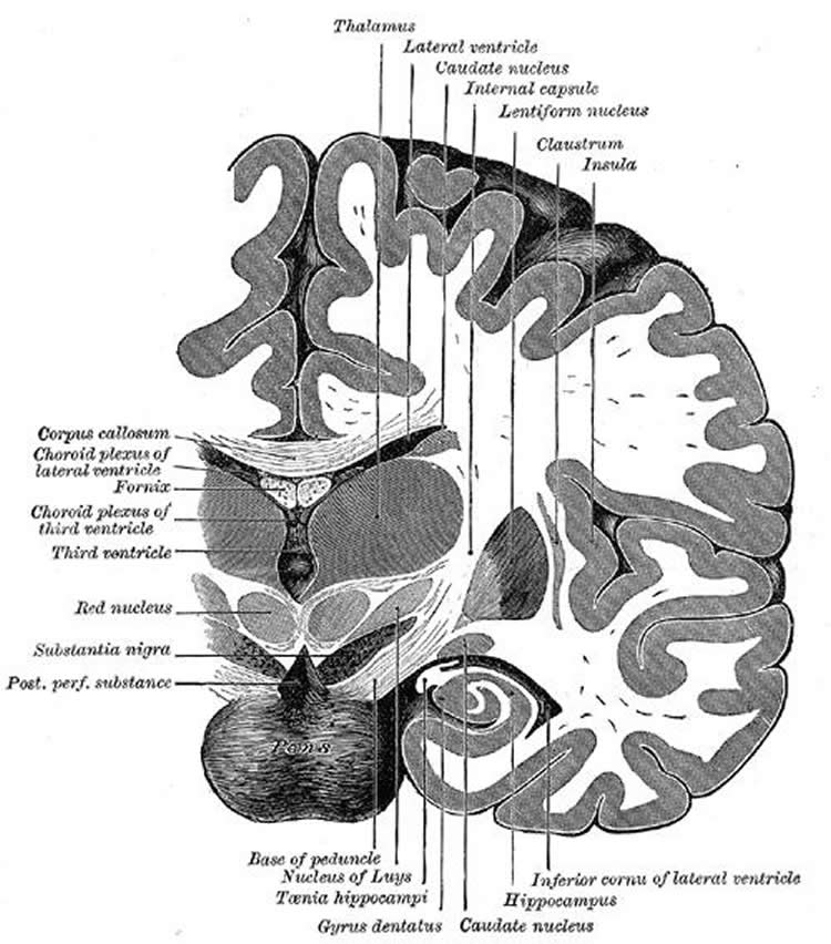 the dentate gyrus in the brain