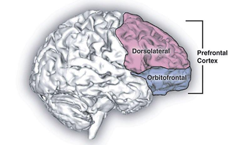 the prefrontal cortex of the brain