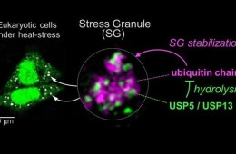 stress granules are shown