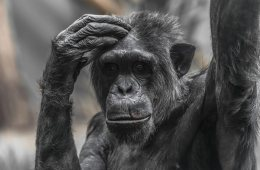 a chimpanzee scratching his head