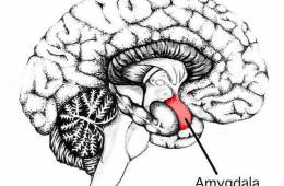 the amygdala in the brain