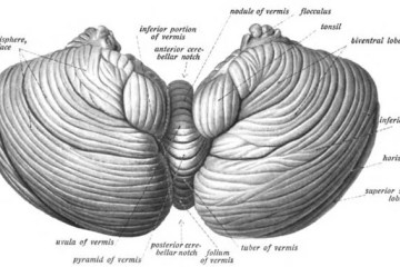the cerebellum