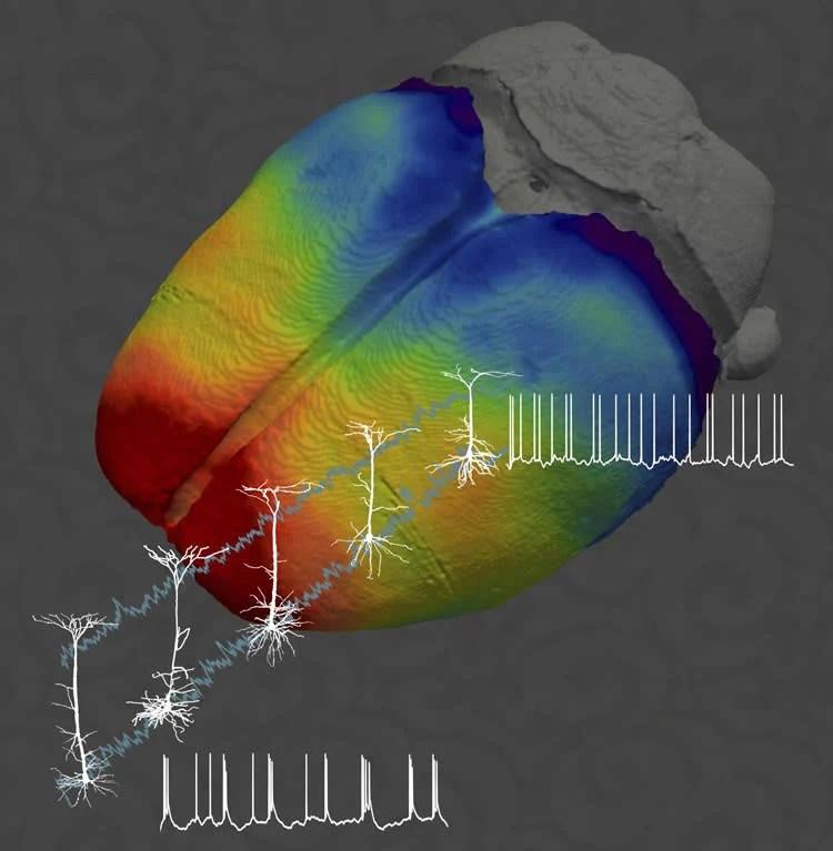 pyramidal neurons