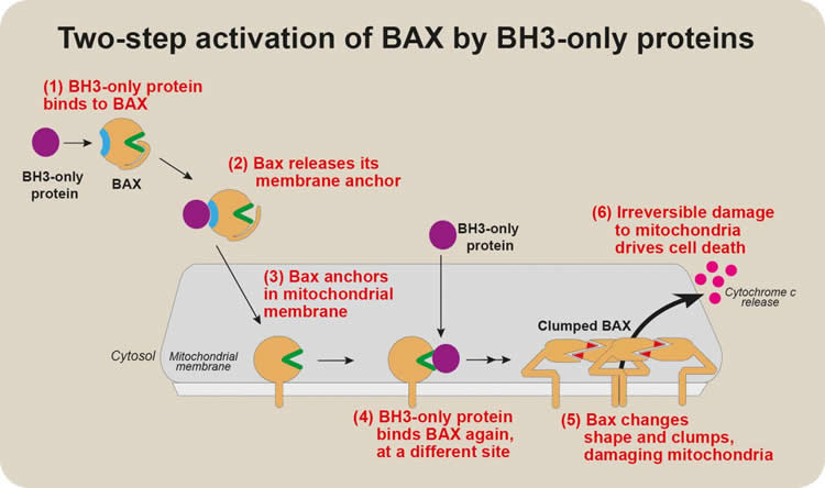 This flow chart shows how BH3-only binds with BAX in apoptosis