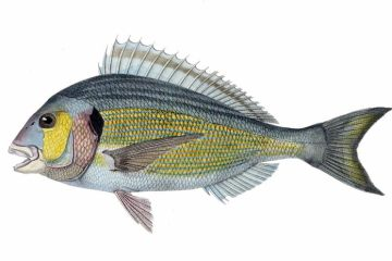 This is a drawing of a gilt head bream