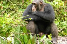 This shows a male chimp sitting with his arms crossed