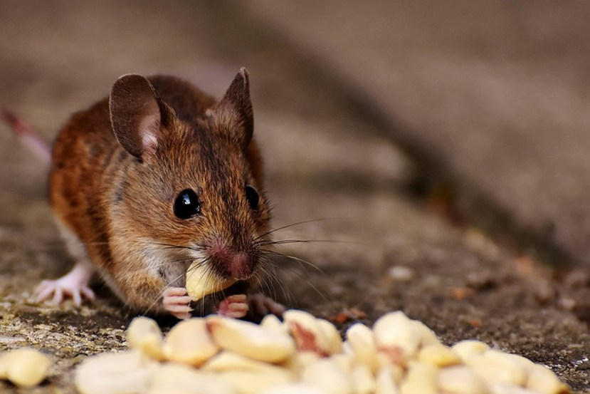 This shows a mouse eating a nut