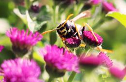 This is a paper wasp on a flower