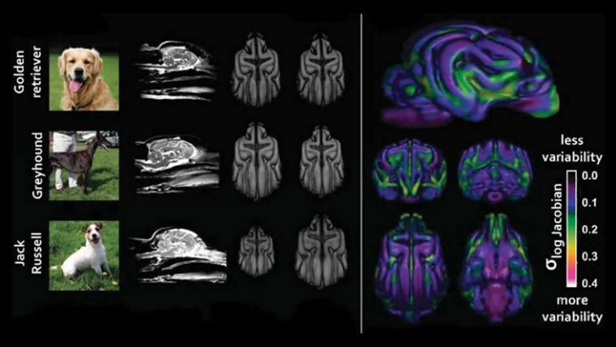 This shows different breed brain scans