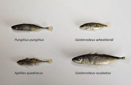 This shows stickleback fish