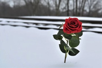 This shows a red rose in the snow