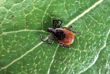 This shows a deer tick