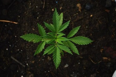 This shows a cannabis plant