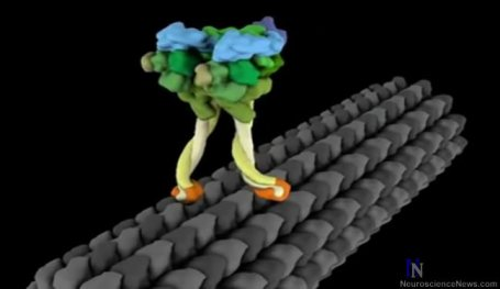 Animated still showing what looks like a pair of legs walking on a log. Digital representation of dynein stepping process.