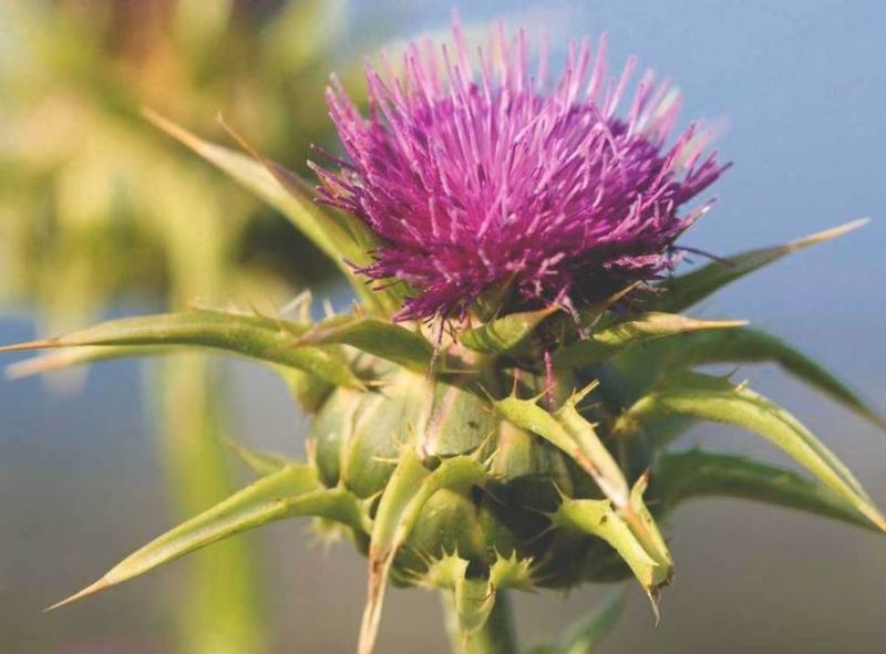 Liver Disease/Milk Thistle (Silybum marianum)