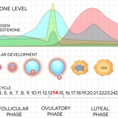 Menstrual Cycle Diagram With Ovulation 2009 Nissan Altima Stereo Wiring Phases Of Nevada Center For Reproductive Medicine
