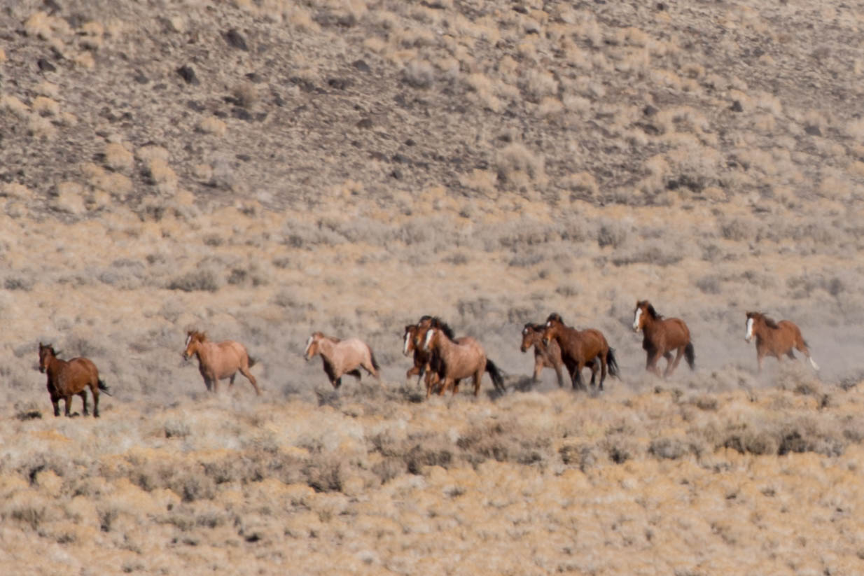 Horse gather near Tonopah. Image: BLM