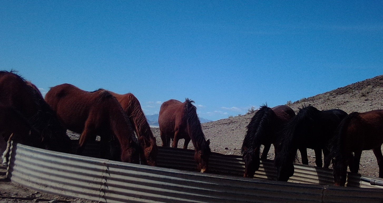 Picture, taken in March 2020, of seven red horses drinking from a stock tank at Trail Springs located within the Jackson Mountain HMA.