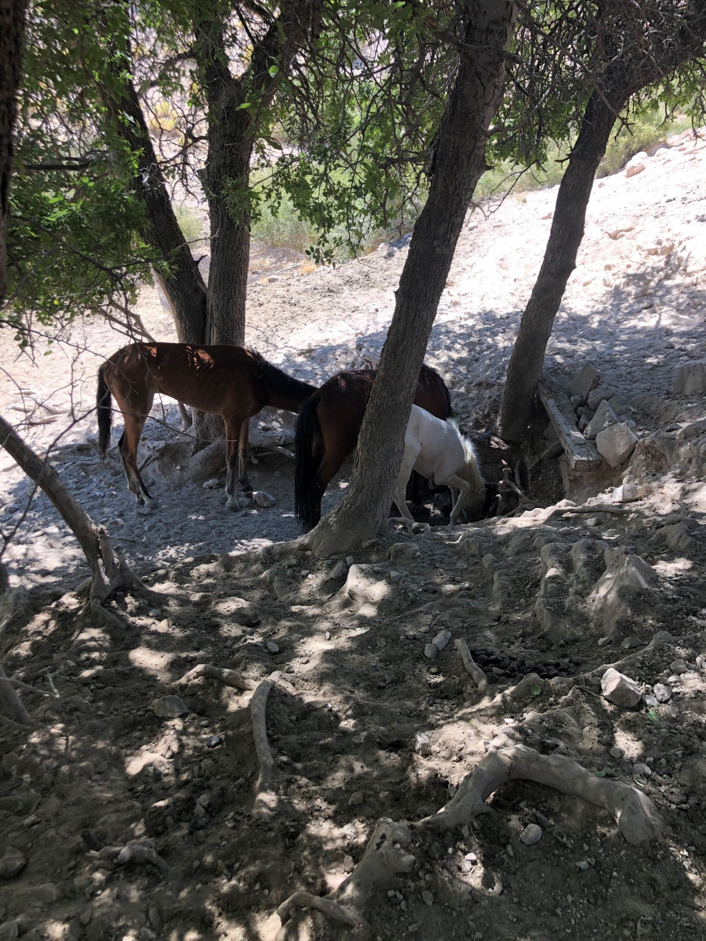 Wild horses in the Meadow Valley Mountains Herd Area paw at a spring in an effort to get water.