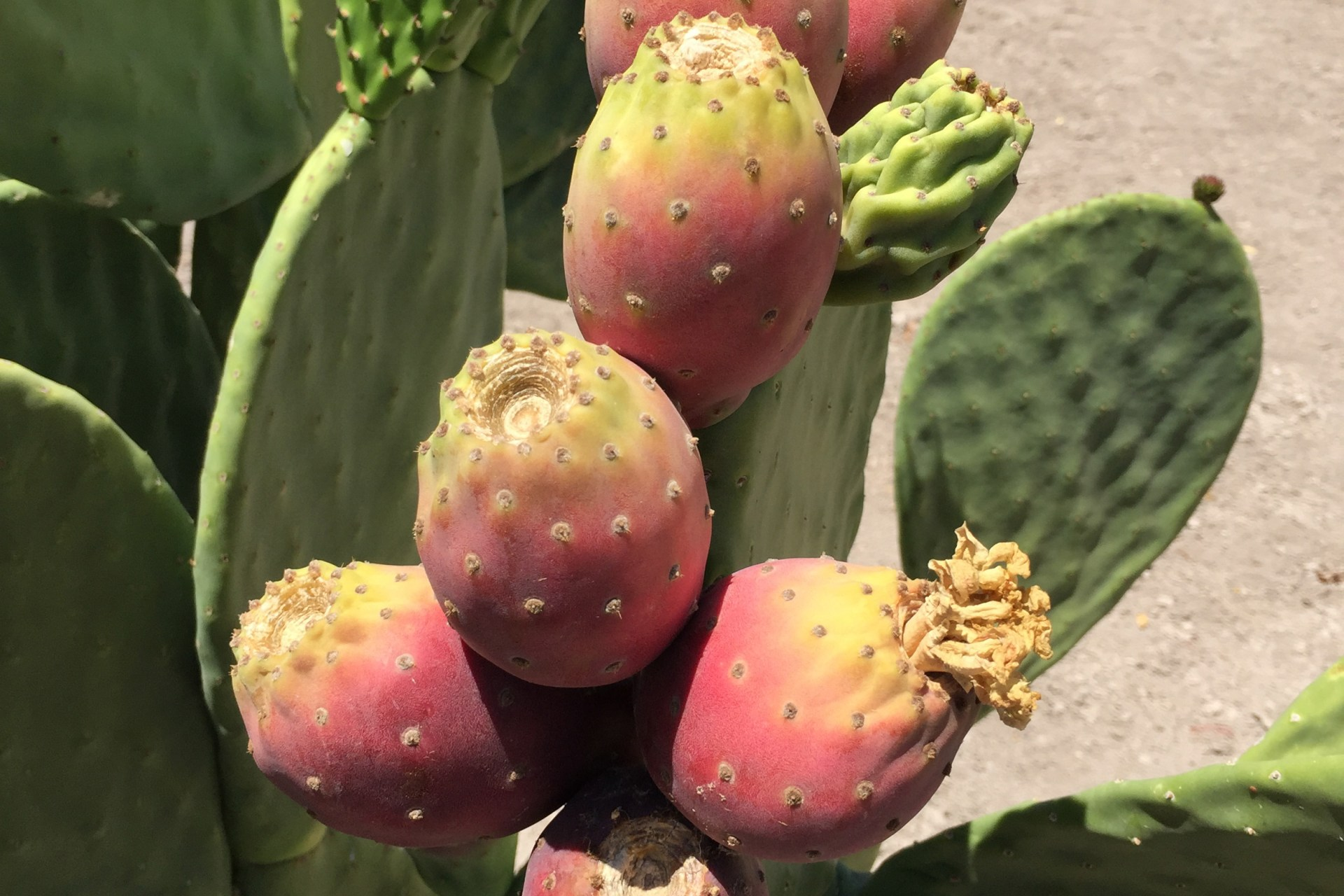 Among three cactus varieties researched by the University of Nevada, Reno as drought-tolerant crops for biofuel, Opuntia ficus-indica produced the most fruit while using up to 80% less water than some traditional crops. Photo by John Cushman, University of Nevada, Reno.