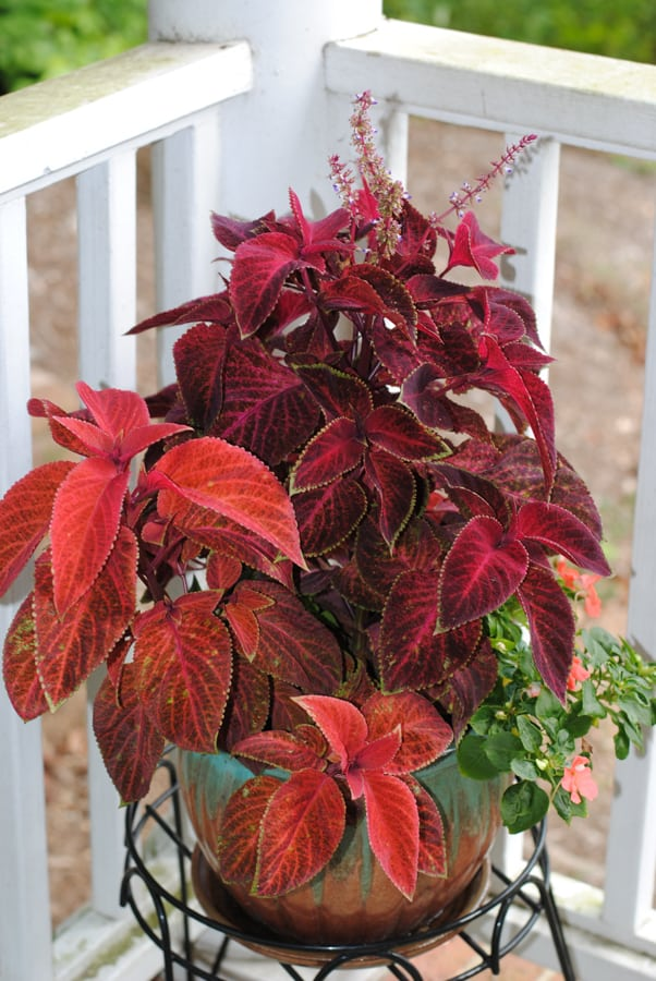 red coleus plants in ceramic pot
