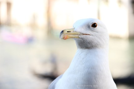 Seagull - June: Best time to visit Venice