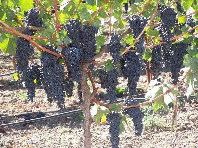 napa-valley-grapes-1510681-1280x960