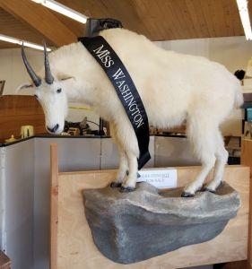 Auctioneer's mascot goat