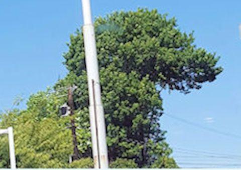 Tree looks like dinosaur