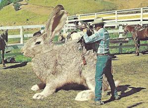 Giant Texas Rabbit Postcard