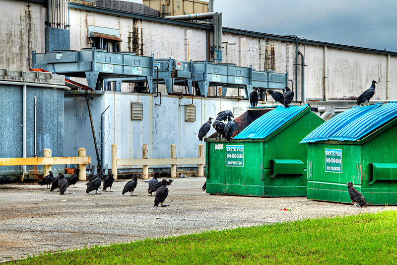 Buzzards on a dumpster