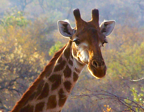 A giraffe in Kruger National Park