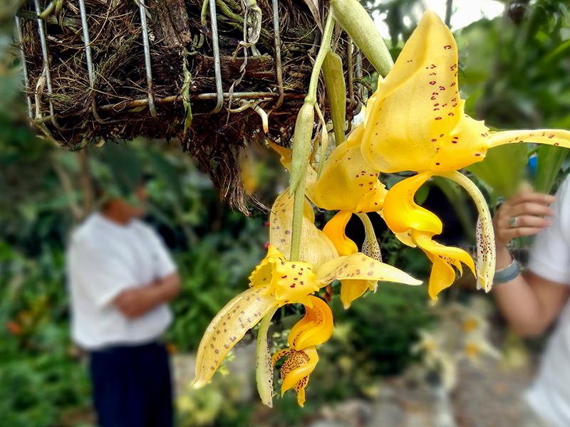 an yellow orchid