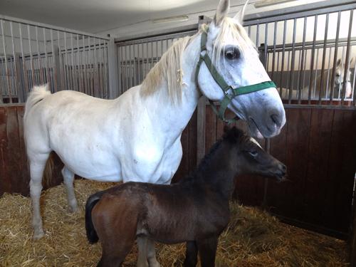 horses at teh Lipica Stud Farm