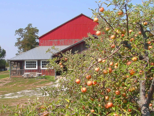 apple trees at the red barn farm