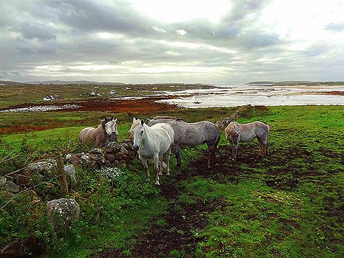 Ponies in the field, Connemara - B&Bs in Ireland