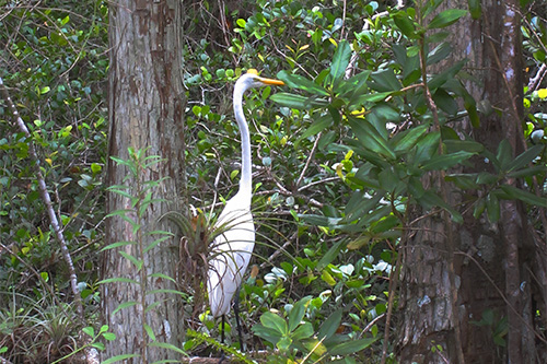 egret in Floridas Everglades