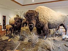 a buffalo exhibit in a museum