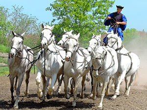 cowboy atop white stallions in Eastern Europe