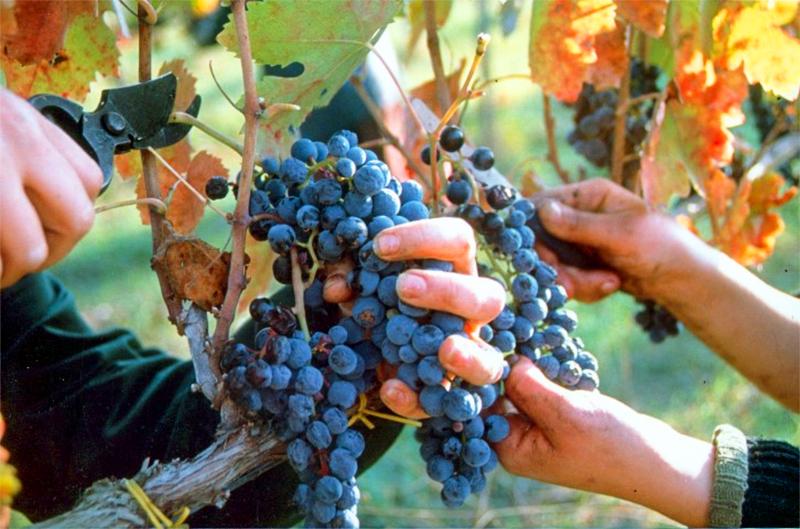 harvesting grapes in Irpinia