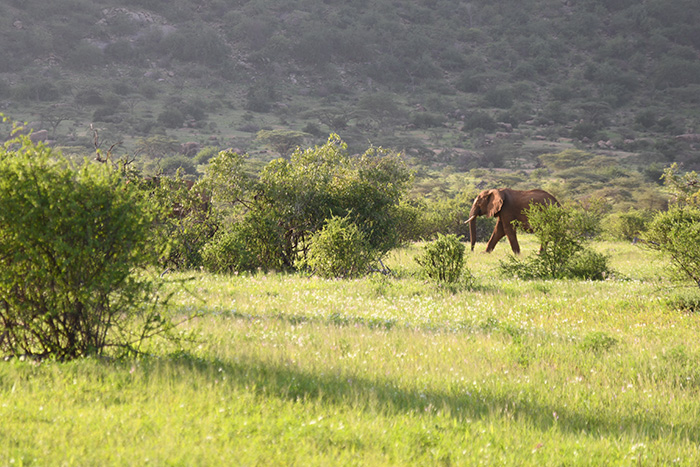 an elephant seen on safari in kenya