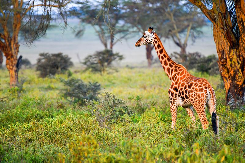 giraffes seen on safari in Kenya and Tanzania