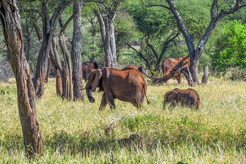 elephants in a park seen on a Tanzania safari