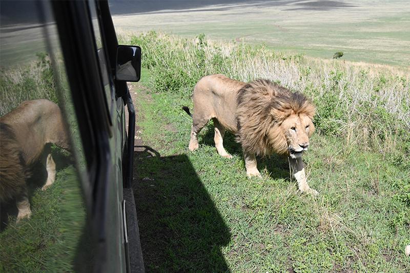 A lion walking past a safari venicle seen on our Tanzania safari